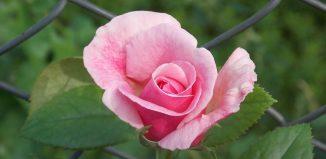 Duel poetic:Neuitare&Rondelul rozelor