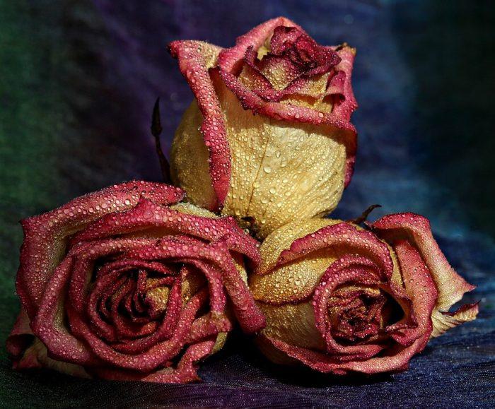 Boboci trandafirii
