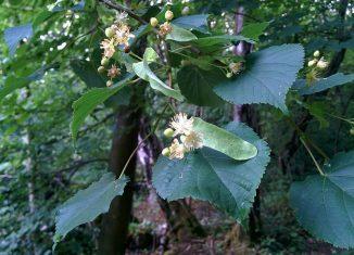 Sub flori de tei - Târziu acasă - poezii