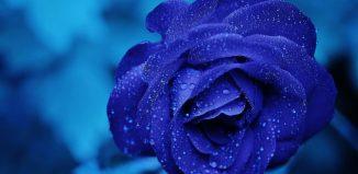Frunze albastre - Petala de foc